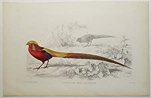 Faisan Dore Male [and] sa Femelle [handcolored copperplate engraving from a painting of a pheasant]
