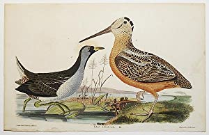 1 handcolored copperplate engraving of two birds: a rail and a woodcock [from American Ornitholog...