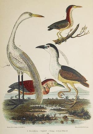 1 handcolored copperplate engraving of four herons [from American Ornithology: The Natural Histor...