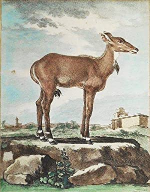 Le Nilgaut Femelle [1 handcolored copperplate engraving of an antelope Nilgaut (Boselaphus tragoc...