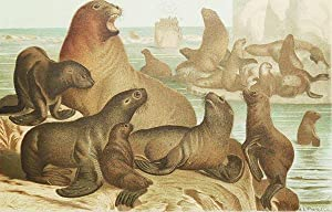 Sea Lion [chromolithograph printed by L. Prang & Co.]