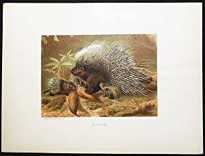 Porcupine [chromolithograph printed by L. Prang & Co.]