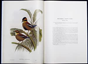 MONOGRAPH OF THE PITTIDAE