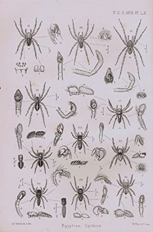 CATALOGUE OF A COLLECTION OF SPIDERS MADE IN EGYPT