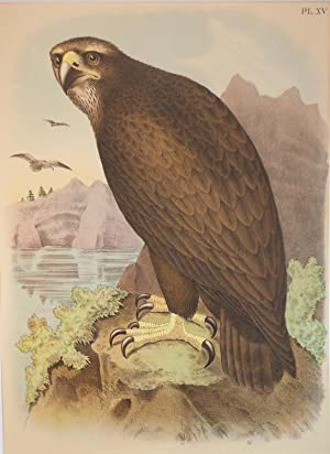 Studer's Popular Ornithology, The Birds of North America. Plate Number XV: The Gray or Sea Eagle....
