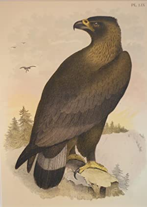 Studer's Popular Ornithology, The Birds of North America. Plate Number LIX: Golden Eagle or Ring-...