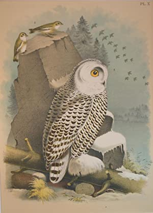 Studer's Popular Ornithology, The Birds of North America. Plate Number X: The Snow Owl (Nyctea ni...