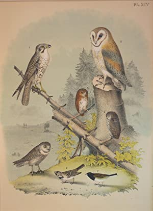 Studer's Popular Ornithology, The Birds of North America. Plate Number XCV: American Lanier or Pr...