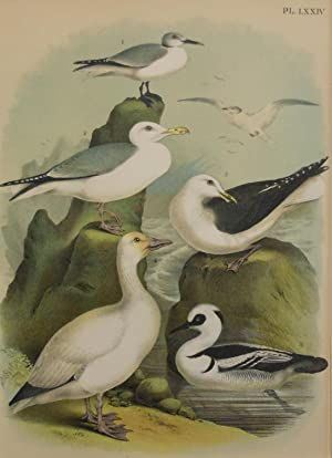 Studer's Popular Ornithology, The Birds of North America. Plate NumberLXXIV: Fork-tailed Gull, We...