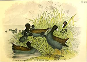 Studer's Popular Ornithology, The Birds of North America. Plate Number XVII: The Cinereous Coot (...