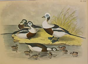 Studer's Popular Ornithology, The Birds of North America. Plate Number XXI: The Long-tailed Duck ...