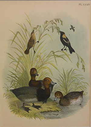 Studer's Popular Ornithology, The Birds of North America. Plate Number XXXIV: The Red-headed Duck...