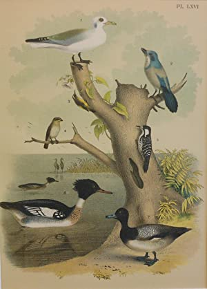 Studer's Popular Ornithology, The Birds of North America. Plate Number LXVI: Kittiwake Gull, Flor...