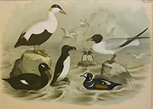 Studer's Popular Ornithology, The Birds of North America. Plate Number LXV: Elder Duck, Laughing ...