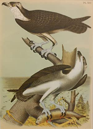 Studer's Popular Ornithology, The Birds of North America. Plate Number XVI: The Fish Hawk (Pandio...