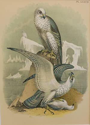 Studer's Popular Ornithology, The Birds of North America. Plate Number LXXVII: Jer-falcon or Gyr-...