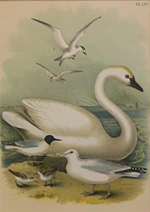 Studer's Popular Ornithology, The Birds of North America. Plate Number LIV: Trumpeter Swan, Herri...