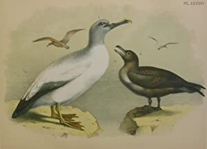 Studer's Popular Ornithology, The Birds of North America. Plate Number LXXXVI: Yellow-nosed Albat...