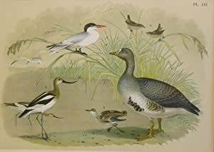 Studer's Popular Ornithology, The Birds of North America. Plate Number LXI: White-fronted Goose o...