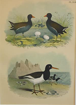 Studer's Popular Ornithology, The Birds of North America. Plate Number XLII: The Florida Gallinul...