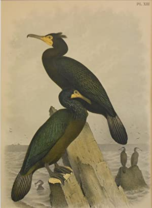 Studer's Popular Ornithology, The Birds of North America. Plate Number XIII: Townsend's Cormorant...