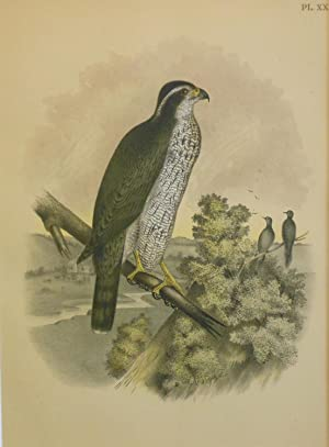 Studer's Popular Ornithology, The Birds of North America. Plate Number XX: The Ash-colored or Bla...