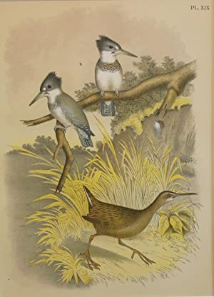 Studer's Popular Ornithology, The Birds of North America. Plate Number XIX: The Clapper Rail (Raa...