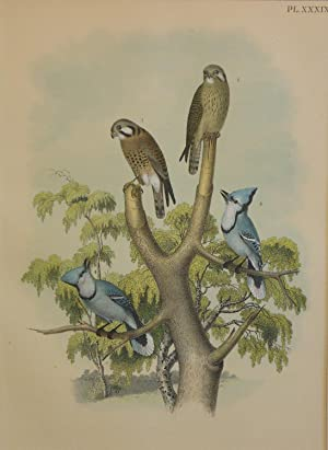 Studer's Popular Ornithology, The Birds of North America. Plate Number XXXIX: The Sparrow Haw or ...