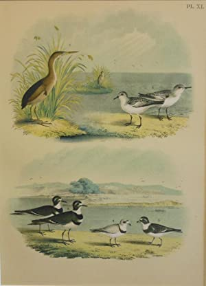 Studer's Popular Ornithology, The Birds of North America. Plate Number XL: The Least Bittern, The...