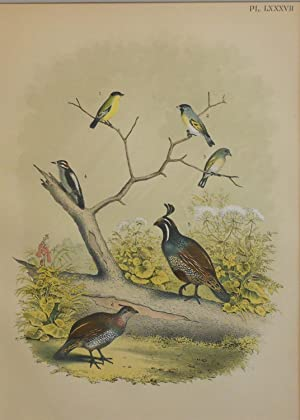 Studer's Popular Ornithology, The Birds of North America. Plate Number LXXXVII: Arkansas Goldfinc...