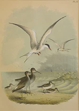 Studer's Popular Ornithology, The Birds of North America. Plate Number XI: The Yellow-shanked Sni...