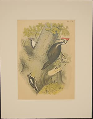 Studer's Popular Ornithology, The Birds of North America. Plate Number XVIII: The Pileated Woodpe...