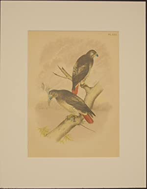 Studer's Popular Ornithology, The Birds of North America. Plate Number XXX: The Red-tailed Hawk.