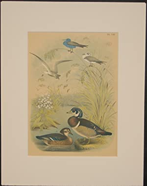 Studer's Popular Ornithology, The Birds of North America. Plate Number VIII: The Wood Duck or Sum...