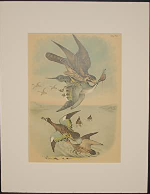 Studer's Popular Ornithology, The Birds of North America. Plate Number: VI: The Wandering Falcon,...