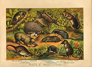 Original Antique 1880 Chromolithograph SHREWS, HEDGEHOG, FLYING LEMUR, MOLES [v]