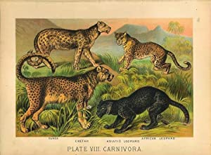 Original Antique 1880 Chromolithograph CHEETAH, SNOW LEOPARD ASIATIC LEOPARD AFRICAN LEOPARD [viii]