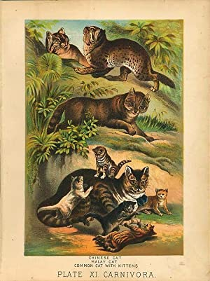 Original Antique 1880 Chromolithograph CATS: CHINESE CAT, MALAY CAT COMMON CAT [xi]