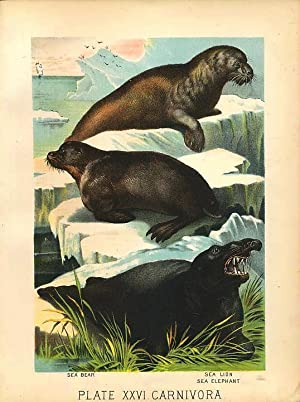 Original Antique 1880 Chromolithograph SEA BEAR SEA LION SEA ELEPHANT [xxvi]