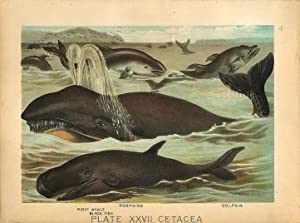 Original Antique 1880 Chromolithograph PORPOISE DOLPHIN RIGHT EHALE BLACK FISH [xxvii]