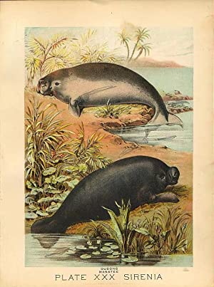Original Antique 1880 Chromolithograph DUGONG MANATEE [xxx]