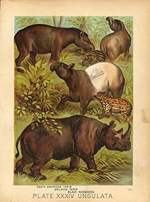 Original Antique 1880 Chromolithograph TAPIR BLACK RHINOCEROS [xxxiv]