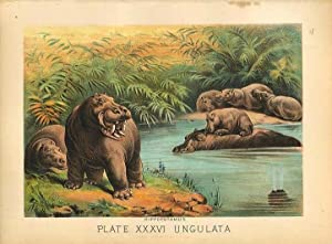Original Antique 1880 Chromolithograph HIPPOPOTAMUS [xxxvi]