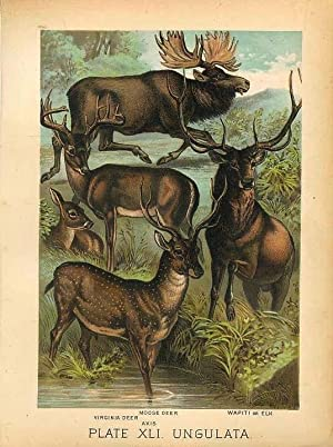 Original Antique 1880 Chromolithograph MOOSE DEER WAPITI ELK VIRGINIA DEER AXIS [xli]
