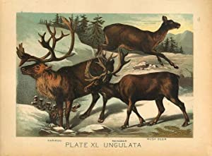Original Antique 1880 Chromolithograph CARIBOU REINDEER MUSK DEER [xl]