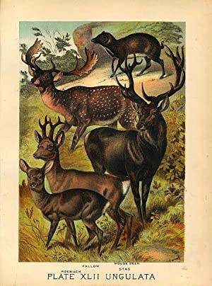 Original Antique 1880 Chromolithograph ROEBUCK FALLOW MOUSE DEER STAG [xlii]