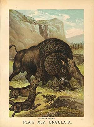 Original Antique 1880 Chromolithograph AMERICAN BUFFALO [xlv]
