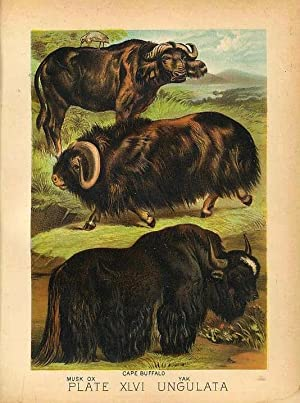 Original Antique 1880 Chromolithograph CAPE BUFFALO YAK MUSK OX [xlvi]
