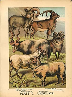 Original Antique 1880 Chromolithograph ROCKY MOUNTAIN SHEEP ARGALI MERINO HIGHLAND SHEEP [l]
