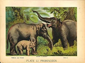 Original Antique 1880 Chromolithograph ASIATIC ELEPHANT [li]